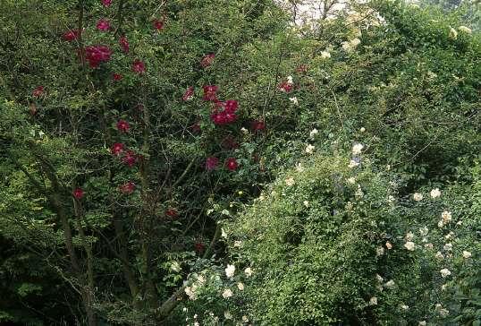 Klettergerüst Rosen : Garten groene.de :: gröne clematis und sassafras de
