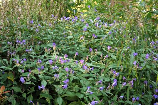 Strobilanthes rankingensis